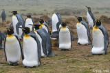 King Penguin - Koningspinguïn - Aptenodytes patagonicus