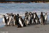 Magellanic Penguin - Magelhaenpinguïn - Spheniscus magellanicus