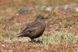 Blackish Cinclodes - Zwarte Wipstaart - Cinclodes antarcticus