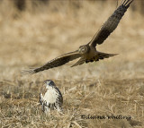 Northern Harrier Territorial Behavior Against Red-tail
