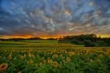 Sunflowers by sunset