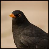 Merel - Black Bird