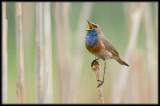 Blauwborst - Bluethroat