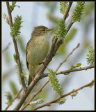 Fitis - Willow Warbler