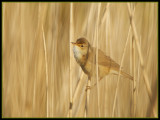 Kleine Karekiet - Reed Warbler