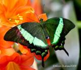 Papilio Papinurus 003