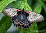 Papilio Memmon 004