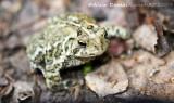 Crapaud d'Amérique - American Toad