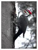 Grand Pic Mâle - Male Pilated Woodpecker