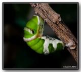 Chenilles - Carterpillars