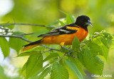 Oriole du Nord Mâle - Male Norther Oriole