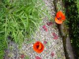 Deux fleurs de pavot ploient