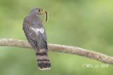 Cuculidae (Cuckoo & Koels)