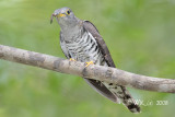 Cuculus micropterus - Indian Cuckoo