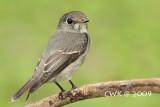Muscicapa sibirica    - Dark-sided Flycatcher