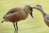 Dendrocygnidae (Whistling Ducks)