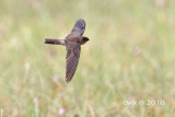 Apodidae (True Swifts)
