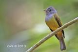 Culicicapa ceylonensis - Grey-headed Canary-flycatcher