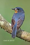 Cyornis rufigastra - Mangrove Blue-flycatcher