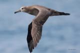 Albatrosses, Shearwaters, Storm-Petrels