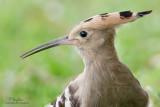 Hoopoes and Hornbills