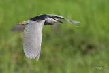 Black-crowned Night-Heron (adult)   Scientific name - Nycticorax nycticorax   Habitat - Variety of wetlands from ricefields to mangroves.   [CANDABA WETLANDS, PAMPANGA, 5DM2 + 500 f4 L IS + Canon 1.4x TC, 475B/3421 support]