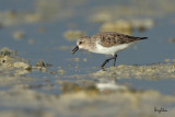 Stints and Pratincoles