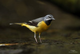 My Best Grey Wagtails Yet