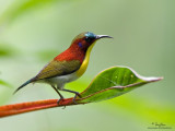 Flaming, Metallic-winged, Handsome and Crimson Sunbirds, and Spiderhunters
