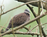 Spotted Dove   Scientific name - Streptopelia chinensis   Habitat - Common in open country and agricultural areas.   [40D + 500 f4 L IS + Canon 1.4x TC, 475B/3421 support]