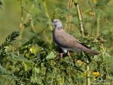Island Collared-Dove   Scientific name - Streptopelia bitorquata   Habitat - In lowlands, in open areas and mangroves.   [1DM2 + 500 f4 L IS + Canon 1.4x TC, 475B/3421 support]