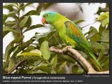 Blue-naped_Parrot-IMG_6300.jpg
