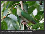 Black-chinned_Fruit-Dove-IMG_6601.jpg