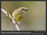 Flame-crowned_Flowerpecker-IMG_0030.jpg