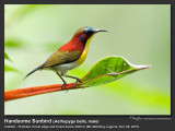 Handsome_Sunbird-IMG_4250.jpg