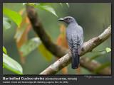 Bar-bellied_Cuckoo-Shrike-IMG_2474.jpg
