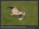 Black-crowned_night-Heron-KZ2L0594.jpg