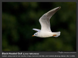 Black-headed_Gull-KZ2L1425.jpg
