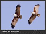 Brahminy_Kite-KZ2L1124.jpg