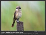 Brown_Shrike-IMG_7777.jpg
