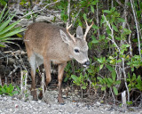 Young Buck Emerging from Brush
