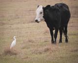 Cow Meets Cattle Egret