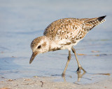 Black Bellied Plover or Dowitcher?