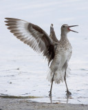 Excited Willet