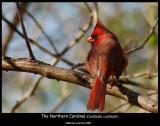 The-Northern-Cardinal 22