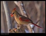 Northern-Cardinal f 28