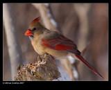 Northern-Cardinal f 30