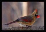Northern-Cardinal f 31