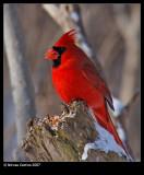 Northern-Cardinal m32