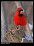 Northern-Cardinal m 33